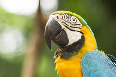 Close Up of Gold and Blue Macaw in Natural Setting Stock Photography