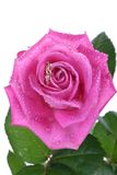 Close up of gold ring in pink rose Royalty Free Stock Photo