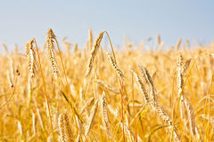 Close up of gold ripe wheat or rye ears against blue sky. Summer sunday. Selective focus Stock Photography