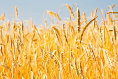 Close up of gold ripe wheat or rye ears against blue sky. Summer sunday. Selective focus. Stock Photography