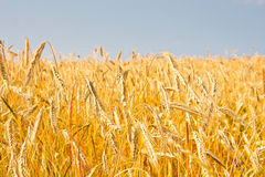 Close up of gold ripe wheat or rye ears against blue sky. Summer sunday. Selective focus Royalty Free Stock Photos