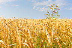 Close up of gold ripe wheat or rye ears against blue sky. Summer sunday. Selective focus Royalty Free Stock Photography