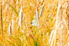 Close up of gold ripe wheat or rye ears against blue sky. Two butterfly lovers. Summer sunday. Selective focus Royalty Free Stock Photography