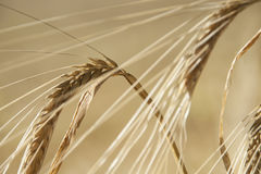 Close up of golden barley ears. Close up of golden yellow barley ears before harvest in Ireland Royalty Free Stock Photos