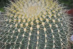 Close up of Golden Barrel Cactus. A detail view of a giant Golden Barrel Cactus, or Echinocactus Grusonii royalty free stock photo