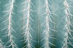 Close up of Golden Barrel Cactus. Pale green tone image royalty free stock images