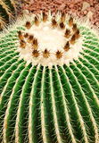 Close up of golden barrel cactus plant Stock Photography