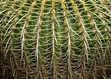 Close up of golden barrel cactus Royalty Free Stock Images