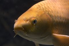 Close up of a Golden Carp royalty free stock photos