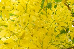 Close up of Golden Chain flowers. stock image