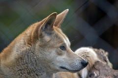 Golden dingo Stock Photography