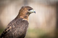 Golden Eagle. Close up of a golden eagle Royalty Free Stock Photography