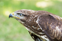 Close up of a Golden eagle (Aquila chrysaetos) Royalty Free Stock Photography