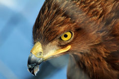 Close up of golden eagle Stock Image