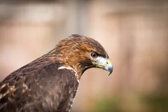 Golden Eagle. Close up of a golden eagle Royalty Free Stock Images