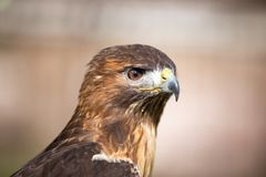 Golden Eagle. Close up of a golden eagle Stock Photography