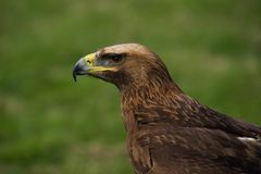 Close-up of golden eagle in grassy field Royalty Free Stock Image