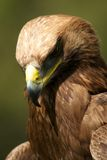 Close-up of golden eagle with head down royalty free stock image