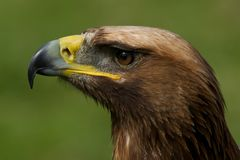 Close-up of golden eagle head looking up Stock Photography