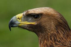 Close-up of golden eagle head in profile Stock Image