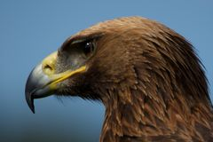 Close-up of golden eagle head staring downwards Stock Images