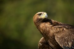 Close-up of golden eagle with head turned Stock Image