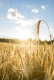 Close up of golden ear of wheat illuminated by sun Stock Photos