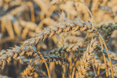 Close up of golden ears of wheat. Low saturation. Vintage look Stock Images