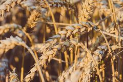 Close up of golden ears of wheat. Low saturation. Vintage look.  Stock Image