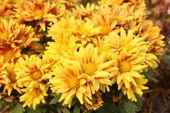 Close up of Golden Everlasting Royalty Free Stock Photography