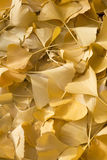 Close up of golden gingko biloba leaves in autumn Stock Photography