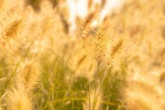 Close up of a golden grass field Royalty Free Stock Images