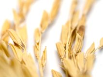 Close up of golden jasmine rice grain on the white background copy space of text and content.  Stock Photos