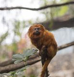 Close up Golden lion tamarin sitting on the tree branch, green l royalty free stock photos