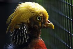 Close-up of a Golden Pheasant Royalty Free Stock Photos