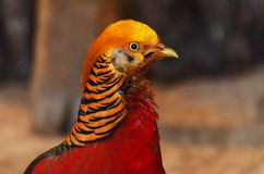 Close up of Golden pheasant royalty free stock photography