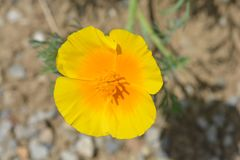 Golden poppy flower. Close up of a golden poppy flower - Latin name Eschscholzia californica stock photos