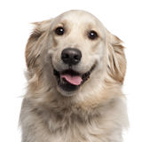 Close-up of Golden Retriever, 2 years old Royalty Free Stock Photo