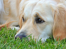 Close up of a Golden Retriever Stock Photography