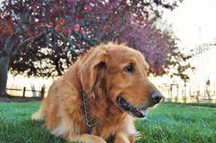Close Up Golden Retriever Royalty Free Stock Photography