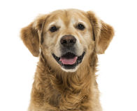 Close-up of a Golden Retriever panting, 11  years old, isolated Stock Photography