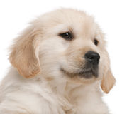 Close-up of Golden Retriever puppy Royalty Free Stock Images