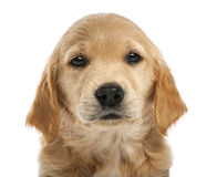 Close-up of Golden retriever puppy, 7 weeks old Royalty Free Stock Images