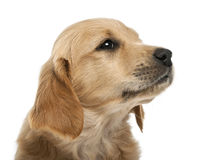 Close-up of Golden retriever puppy, 7 weeks old Royalty Free Stock Photo
