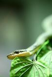 Close up Golden tree snake Royalty Free Stock Image