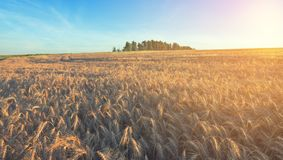 Wheat field in bright sunlight at sunrise. stock photos