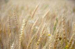 Ripe wheat growing in agricultural field royalty free stock photography