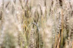 Golden wheat grass in field at autumn. Close up of golden wheat grass in field at autumn Stock Photos