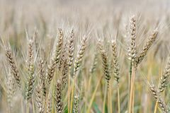 Golden wheat grass in field at autumn. Close up of golden wheat grass in field at autumn Stock Image
