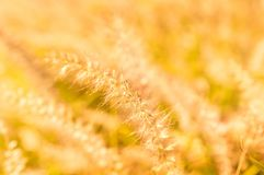 Close up of golden wild grass on the sunset.  Royalty Free Stock Photo
